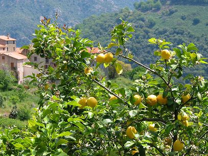 Montale - Lemon Tree
